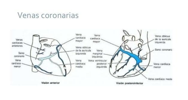 venas coronarias