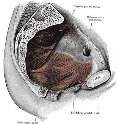 Músculo coxígeo