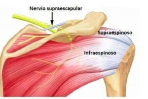nervio supraescapular
