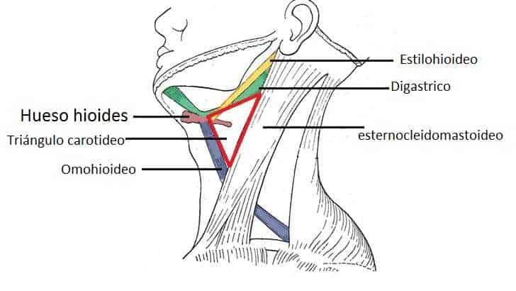 Triángulo carotídeo del cuello