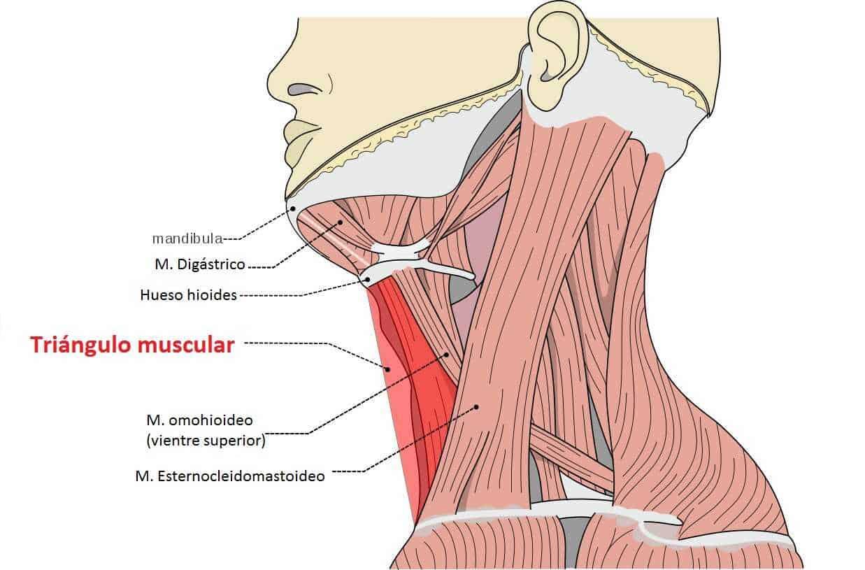Triángulo muscular