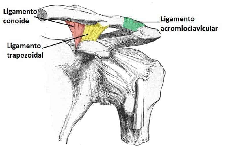Ligamentos articulación acromioclavicular