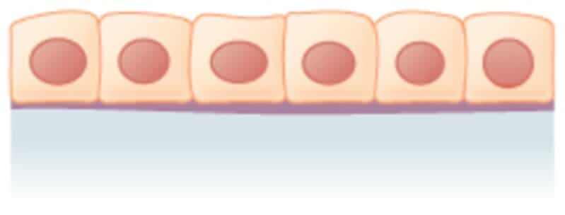 epitelio cuboide simple