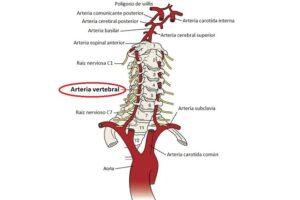 Arteria vertebral