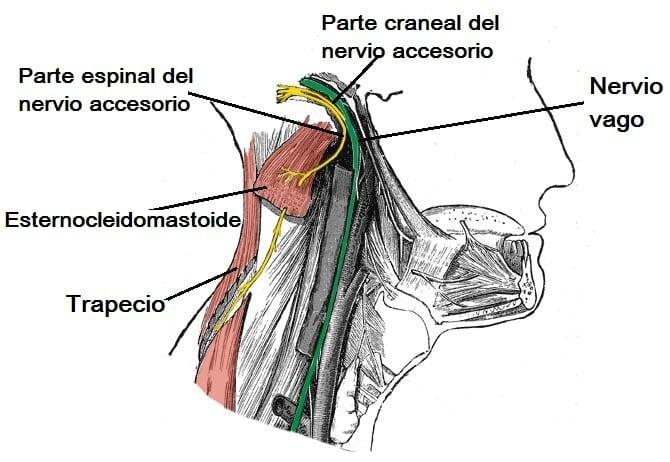 Nervio accesorio