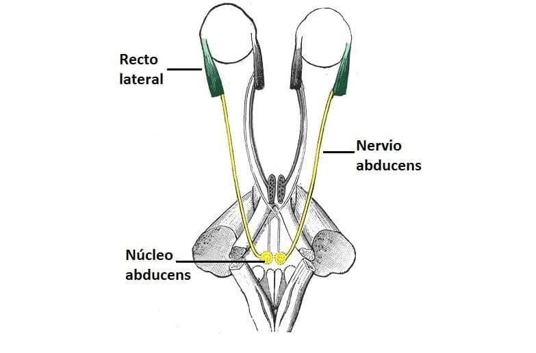 Esquema del curso anatómico del nervio abducens