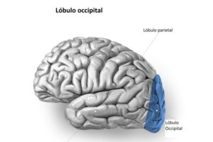 Lóbulo occipital