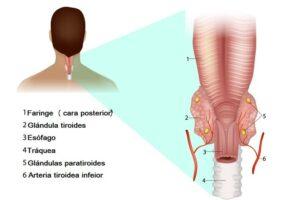 Arteria tiroidea inferior