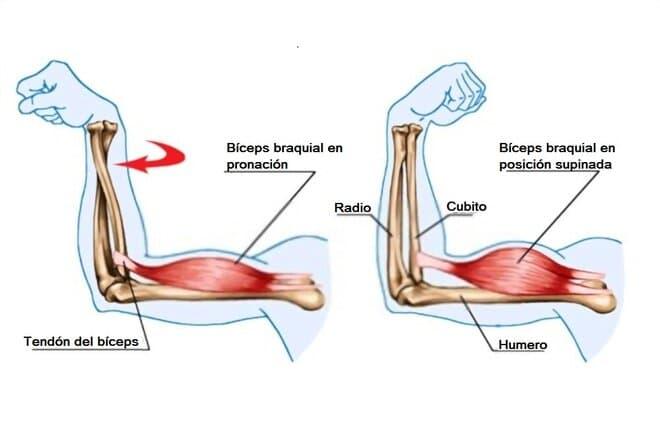 Músculo bíceps braquial