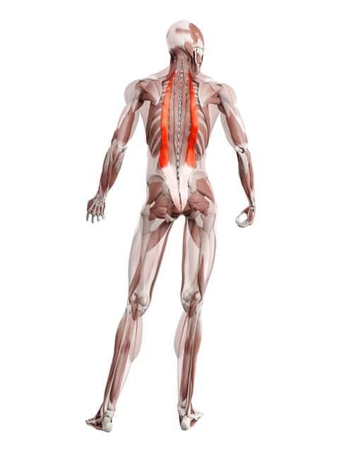 Músculo iliocostal