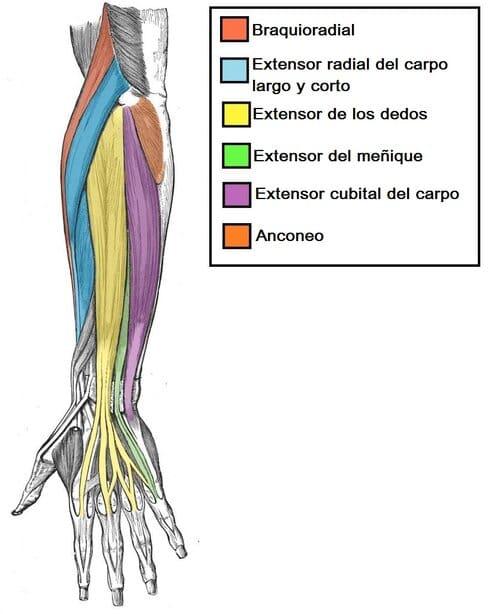Músculos del compartimento posterior del antebrazo