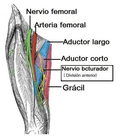 Músculos del compartimento medial del muslo