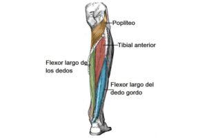 Músculos del compartimento posterior de la pierna