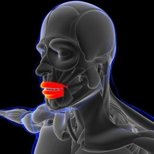 Músculo orbicular de los labios