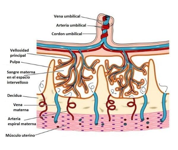Arteria umbilical